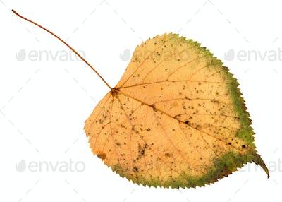 back side of fallen rotten leaf of linden tree