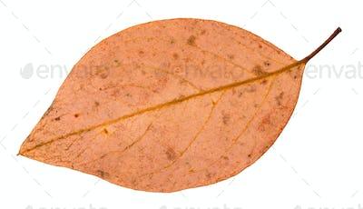 back side of fallen pink leaf of apple tree