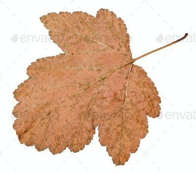 back side of dried leaf of viburnum tree isolated