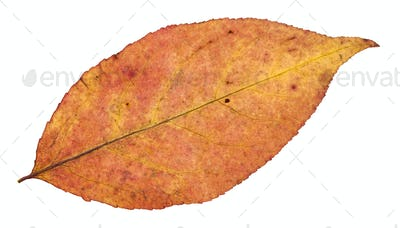 back side of autumn leaf of willow tree isolated