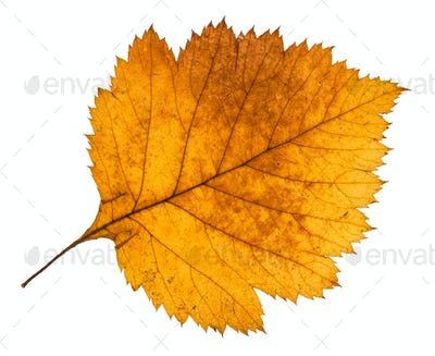 yellow autumn leaf of hawthorn tree isolated