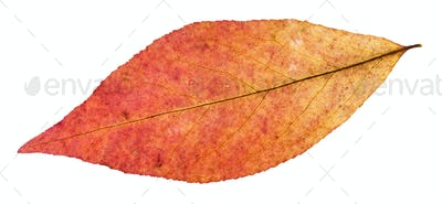 back side of red leaf of willow tree isolated