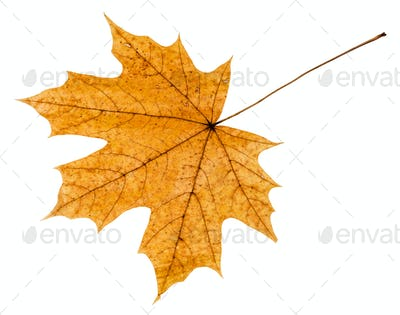 back side of yellow autumn leaf of maple tree