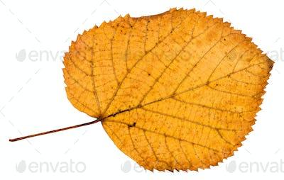 back side of fallen autumn leaf of linden tree