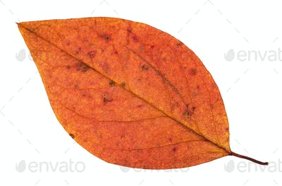 fallen autumn red leaf of apple tree isolated