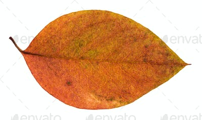 dried red and yellow leaf of apple tree isolated