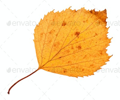 back side of yellow dried leaf of hawthorn tree