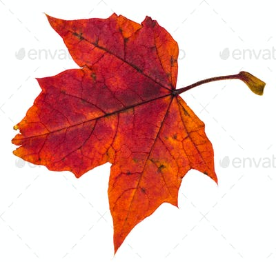 red autumn leaf of maple tree isolated