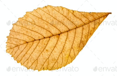 back side of autumn yellow leaf of horse chestnut