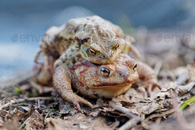 Common toad (Bufo bufo) in a nature