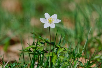 Spring flower wood anemone (Anemone nemorosa) in a nature
