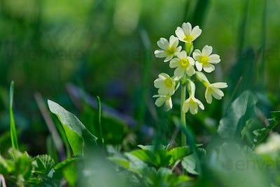 Cowslip  (Primula veris) in a wild