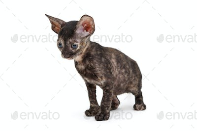 Small kitten breed Cornish Rex