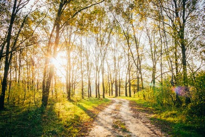Sun Shining Through Forest Woods Over Lane, Country Road. Path,