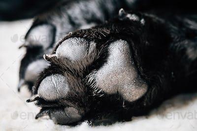 Dog Labrador Paw With Pads