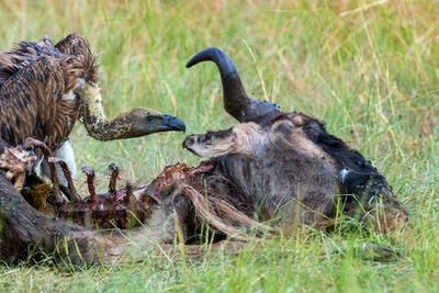 Vulture feeding on a kill