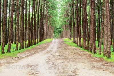 road to the pine forest