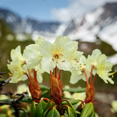 Beauty Golden Flower Rhododendron Aureum on Background of Mountains