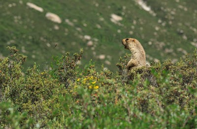 Alpine marmot shouting