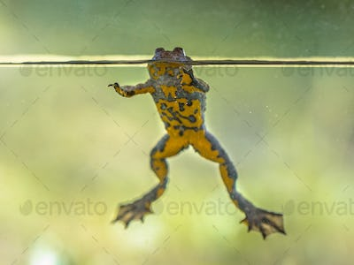 Yellow bellied toad resting in water