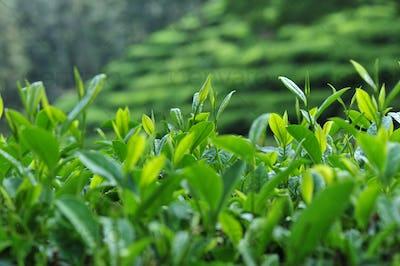 Tea trees in spring