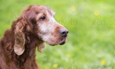 Beautiful old Irish Setter dog