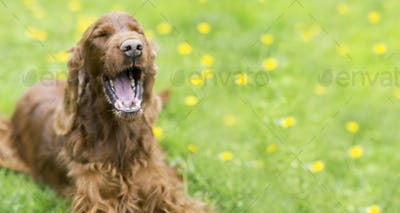 Funny dog laughing