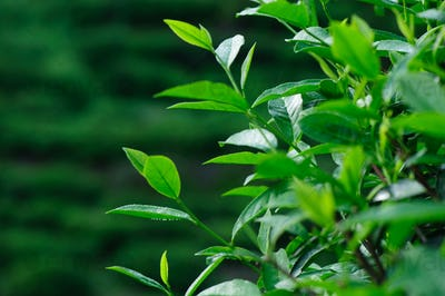Green tea plants in spring