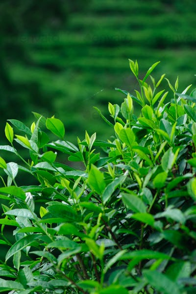 Tea trees in growth at spring