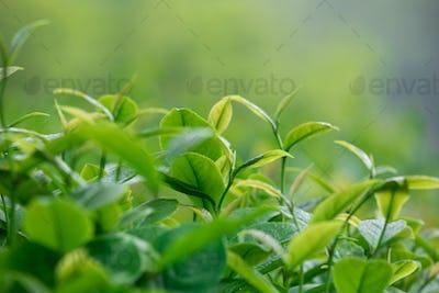 Spring tea leaves growth on trees