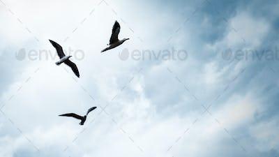 Three seagulls in the sky