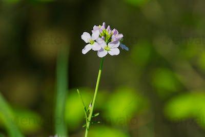 Cuckooflower (Cardamine pratensis) in a spring nature