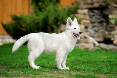 Berger Blanc Suisse White german shepherd poppy