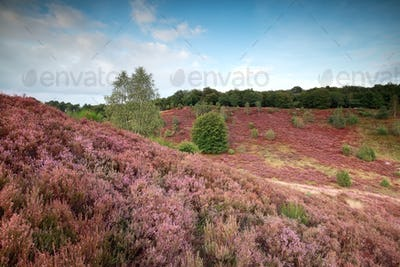 hills with flowering heather