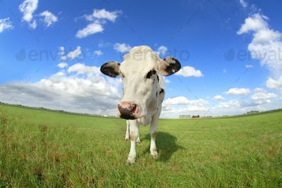 cute cow on pasture close up via wide angle