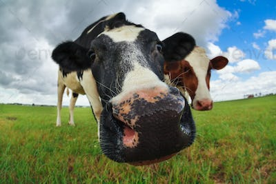 funny cow nose close up