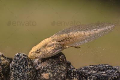 Tadpole of Phelophylax frog