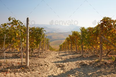 Vineyard in a sunny fall day, yellow leaves and ground path
