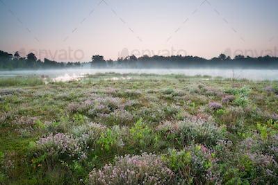 flowering heather on marsh by lake