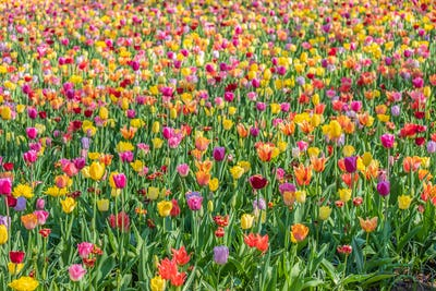 Thousands of Tulips