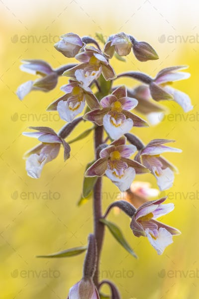 Marsh helleborine orchid flowers in bloom