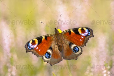 Colorful European Peacock butterfly on heath