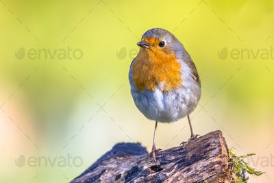 Cute red robin vivid colored background