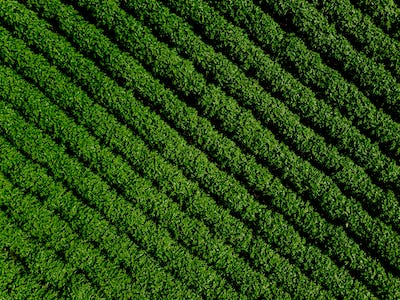 Green country field of potato with row lines, top view, aerial photo