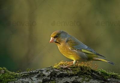 Greenfinch (Carduelis chloris) in the morning light