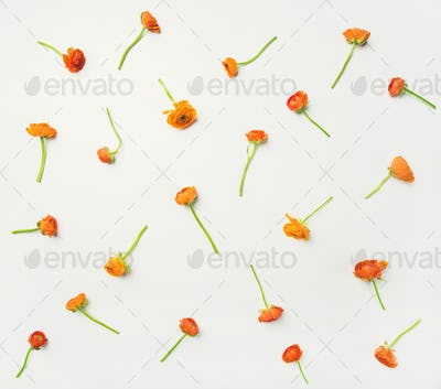 Flat-lay of orange buttercup flowers over white background, horizontal composition