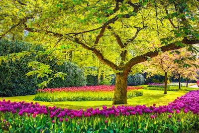 Tree and tulip flowers in spring garden. Keukenhof, Netherlands,