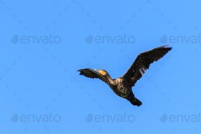 cormorant (phalacrocorax carbo ) in flight