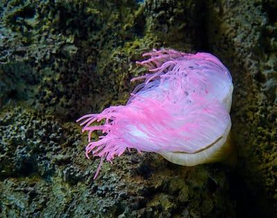 pink sea anemone