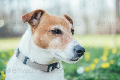 Jack russel terrier on flowers meadow